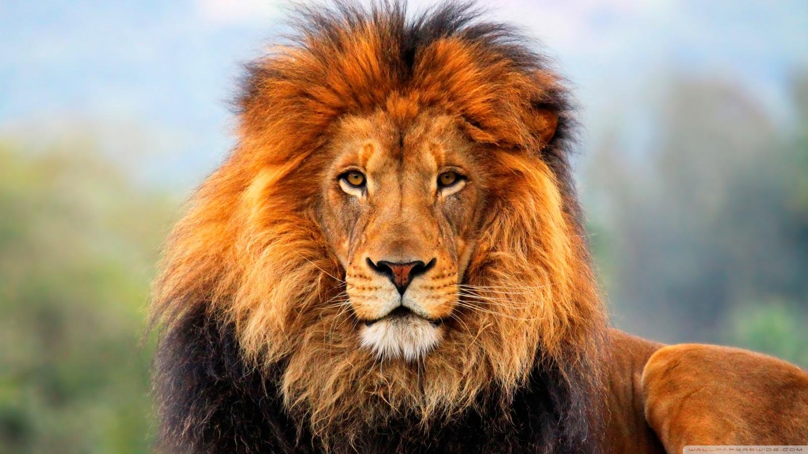 Schleich Lion Roaring Toy Figure  amazoncom